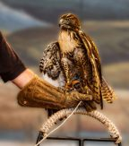 California Trail Center hawk