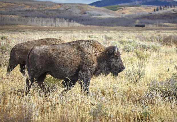 Bison On Trail