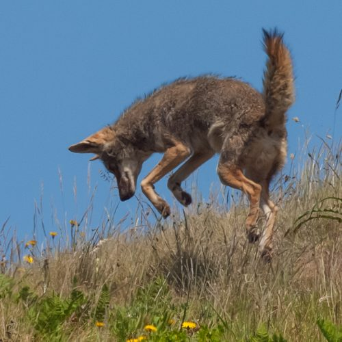 California Trail Center coyote